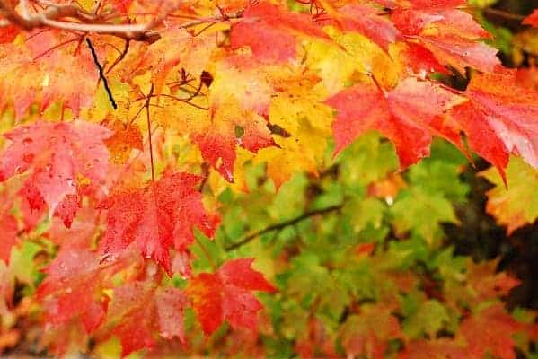 Fall Leaves in New England